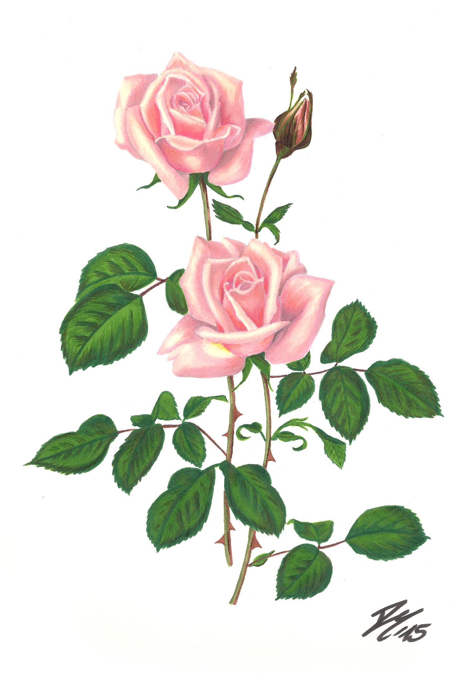 It is a picture of Exhilarating Rose Drawing Color